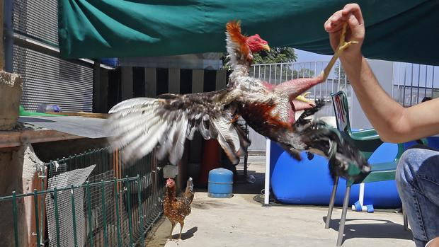 Gallos de pelea en un corral de una barriada de Córdoba