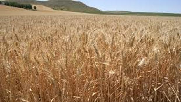 El cereal es uno de los cultivos más afectados por la sequía , según Asaja Cádiz