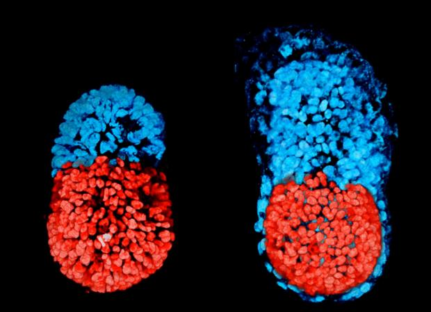 Esta imagen muestra un embrión de ratón fabricado en el laboratorio a las 96 horas de desarrollo (izquierda) y otro cultivado in vitro durante 48 horas (derecha). La zona en rojo es embrionaria y la azul la que dará lugar a la placenta