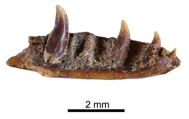 Una de las mandíbulas de este animal, bautizado como «Ophisaurus manchenioi»