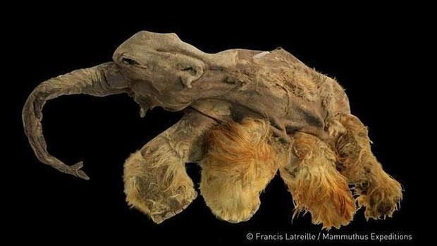 La pequeña cría de mamut «Yuka»
