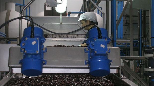 El liderazgo de Sevilla en el mercado de la aceituna negra está en peligro