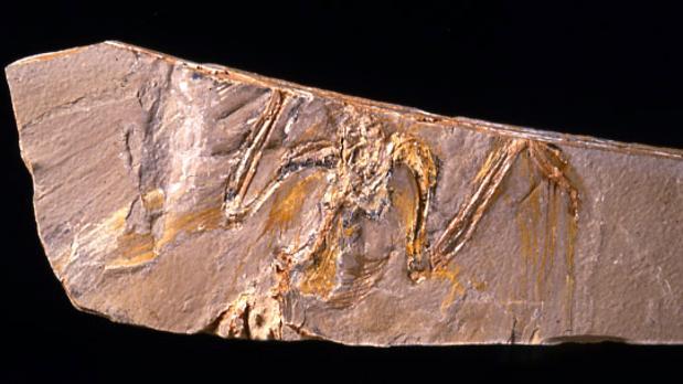 Fósil de Eoalulavis hoyasi encontrado en el yacimiento de Las Hoyas (Cuenca)