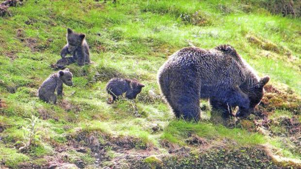 El hecho de que las personas quieran conocer más de cerca del oso puede redundar en la mejora de su conservación