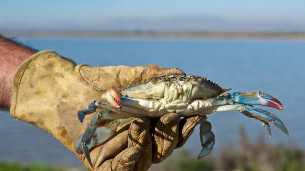 El cangrejo azul americano invade todo el Mediterráneo