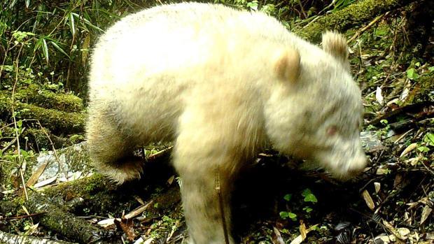 Primera imagen de un panda albino