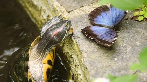 Una tortuga galápago de Florida intentacomerse uno de los ejemplares de mariposa Morpho Peleides